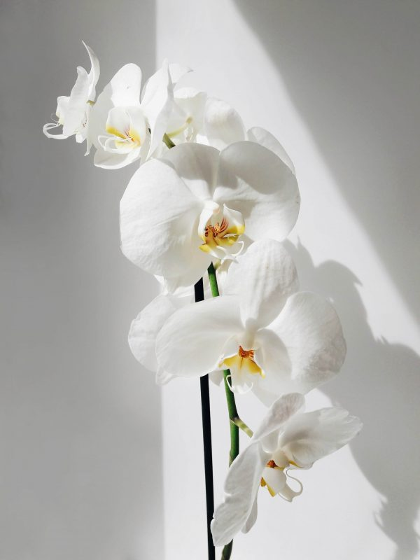 phaleno orchidea