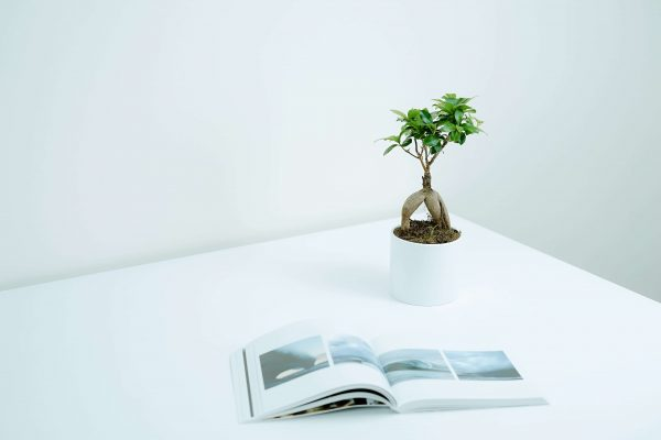 Ficus bonsai ginseng